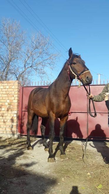 Лошади из России в Кант - фото 2