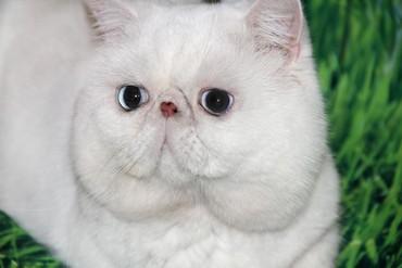 тигровые коты в Азербайджан: Кот-экзот( американский экзотический) приглашает на вязку