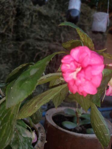 Комнатные растения в Кок-Ой: 3вида светы продою мароженое! Бабочка! Лягушка!