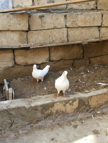 Qobustan şəhərində quş satılır