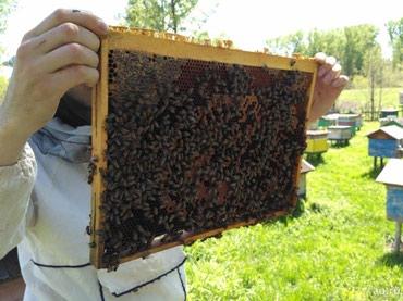 Продаю пчел на рамках Дадана на высадку. Находятся в г. Бишкек в Бишкек