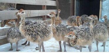 Животные - Чолпон-Ата: Продаются Страусята 1месячные,африканские есть и другие виды