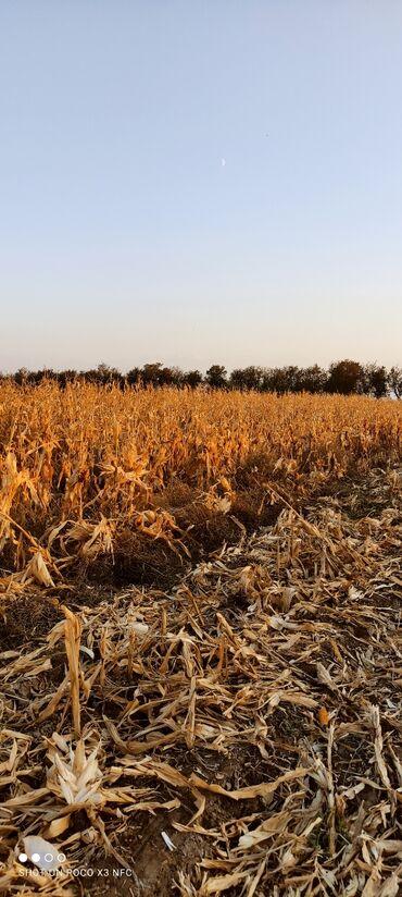 самсунг а 51 цена ош in Кыргызстан   SAMSUNG: Баян кукуруза сено тюки. Продаю кукурузную палочки без кукурузы цена