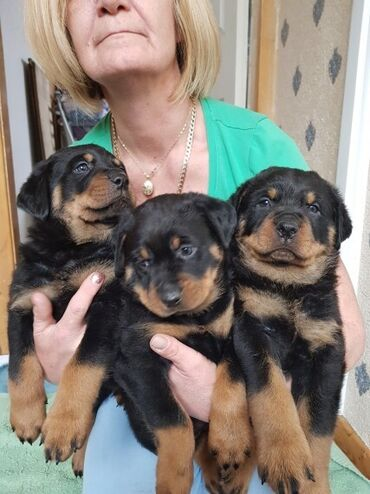 I phone - Ελλαδα: Healthy Mixed Litter Of Rottweilers hi i have 5 beautiful rottweilers