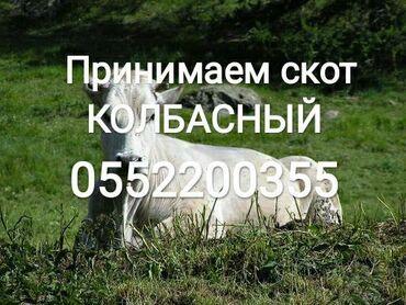 jelektriki na vyzov в Кыргызстан: В колбасный принимаем скот любой упитанности в любое время