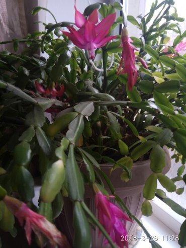 Срочно продаю декабрист очень большой! он цветёт не только в декабре! в Лебединовка