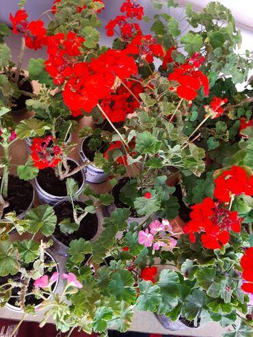Срочно в связь с выездов продаю цветы Герани по дешёвым ценам