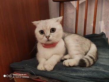ищу кошку в Кыргызстан: Продаю шотландскую кошку, окрас серебристая шиншилла, возраст 2 года