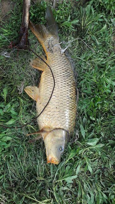Продукты питания - Ак-Джол: Продам рыбу от 300 гр- до 1 кг. Есть и большие 2,3,4,5 кг. Оптом!