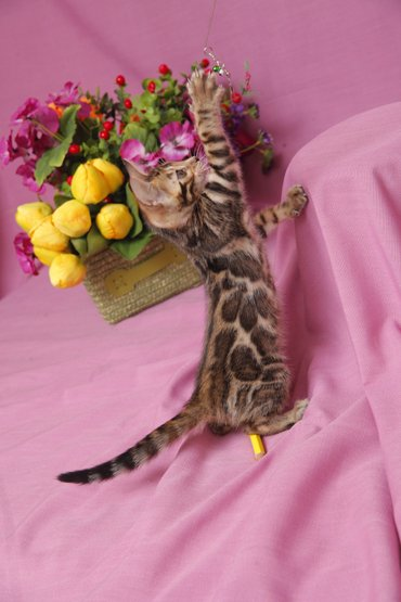 Друзья !!! долгожданный помет . Бенгальские котята . от самых