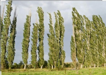 Уголь и дрова - Каинды: Продаю деревья 3 Плакучие Ивы и 2 Тополя