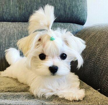 Adorable Mini, Toy Cavapoo, Cockapoo, Maltese, Pomeranian, poodle