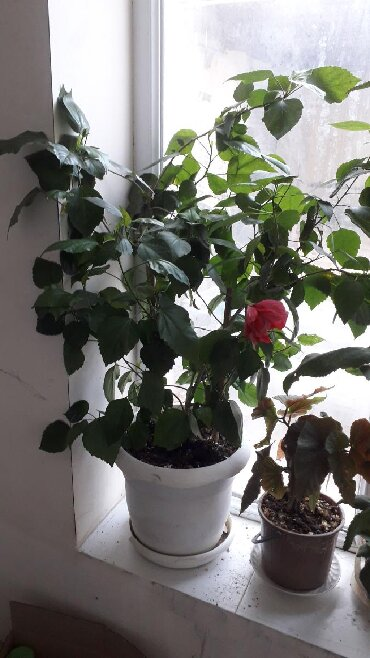 aloy gulu - Azərbaycan: Kitayski roza boyukdu 25manat bu gulu alana pul gulu hediyye