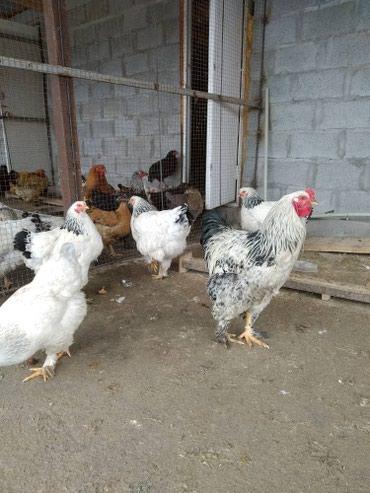 Продается куры брама 7-8 месяцев, кох 12-13 месяцев село Кой-таш в Лебединовка