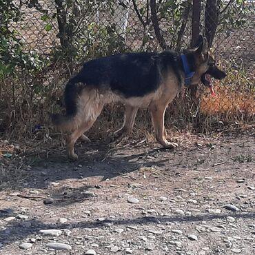 alman ovçarkasının küçükləri - Azərbaycan: Salam Alman Avcarkasi Satilir k9 Erkek CIDDI ALICILAR ZENG VURSUN