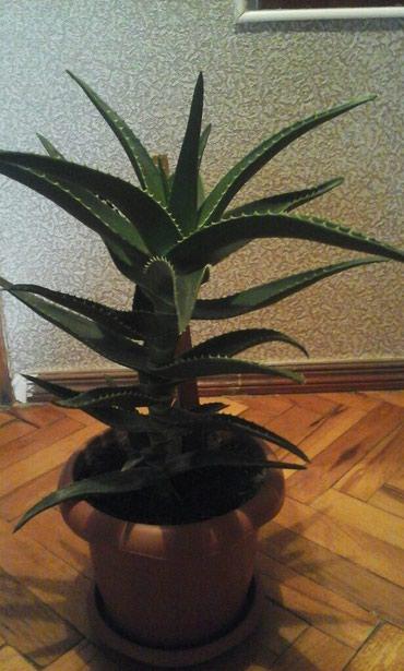Bakı şəhərində Aloe