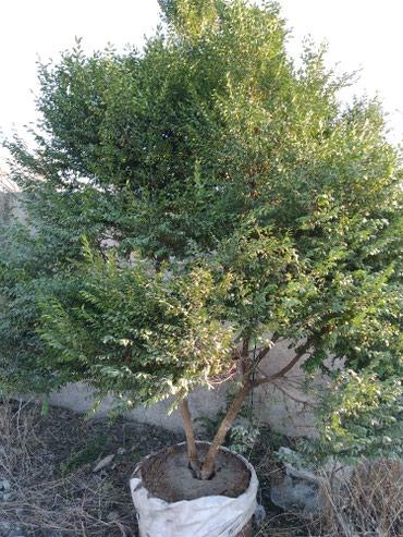 Шамшит вечно зелёное дерево, очень в Бишкек