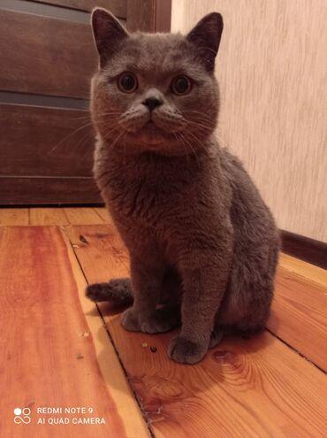Шикарного котика в добрые руки! Порода Скотиш страйт, окрас голубой. К