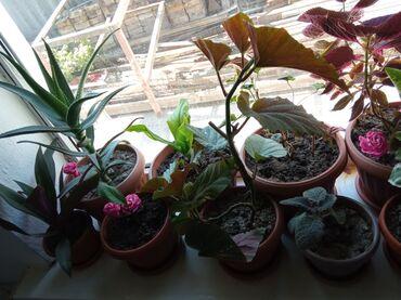 Срочно продаю комнатные цветы от 100 до 1000сомов