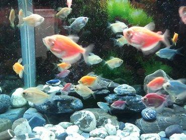 bmw-m2-3-mt - Azərbaycan: SATIRAM! Ternesiya (Glo Fish) balıqları 40 ədəd qalıb. tək-tək 3-4-5