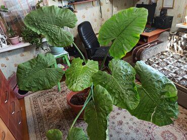 Продаю офисное растение, 3 летнею Алоказию. Доставка по городу Каракол