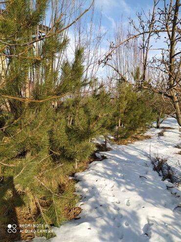 Туй голубые ели - Кыргызстан: Крымские сосны, голубые ели, сизые в караколе, рост от 2 до 4х метров