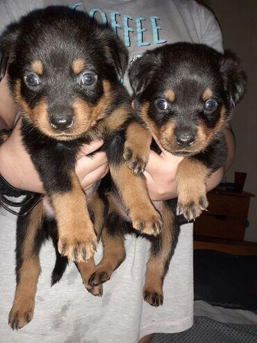 Rottweiler κουτάβια για υιοθεσίαΦΥΛΟ: Άνδρας και γυναίκαΗΛΙΚΙΑ: 12