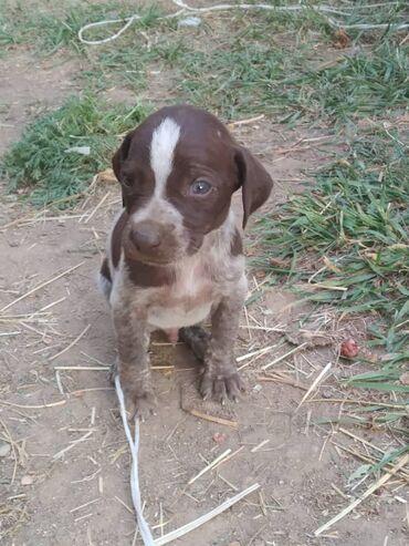 Животные - Чон Сары-Ой: Собаки