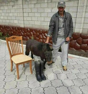 лошади бишкек в Кыргызстан: Продаю | Жеребец | Конный спорт | Племенные