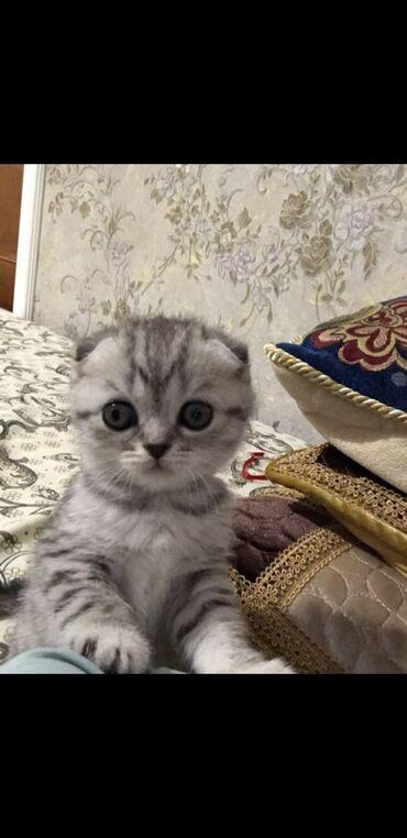 ищу кошку в Кыргызстан: Хочу купить такую же кошку