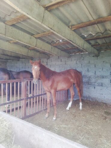 Животные - Буденовка: Продаю | Конь (самец) | На забой | Племенные, Осеменитель, Мерин