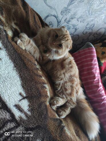 Внимание! Продается молодой кот 1год 2мес,Шотландский вислоухий