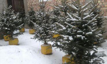 Ёлки зелёные в Бишкеке, с посадкой и с гарантией. Рост от 1,5 до 2