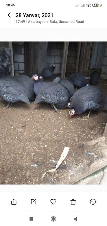 Животные - Новкхани: Böyü,sağlam,yumurtduyan təmiz firəng quşları(toyuğları,xoruzları)