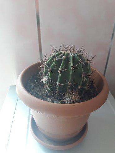 Sumqayıt şəhərində Kaktus