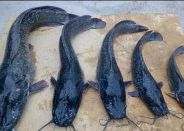 рыбы в Кыргызстан: Африканский сом рыба