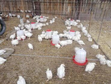 Животные - Чат Кёль: Продаю | Цыплята | Бройлерная