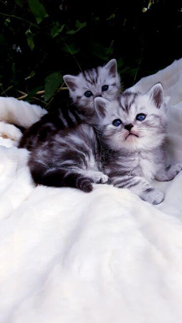 Животные - Кыргызстан: Предлагаются к резерву плюшевые шотландские котята. Окрас черный