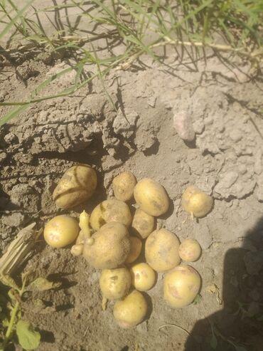 Медтовары - Юрьевка: Бир гектар картошка бар оптом сатылат келишим баада