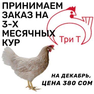 шин лайн бишкек работа в Кыргызстан: Продаю | Куры | Хай-Лайн Браун, Хай-Лайн Соня Грей