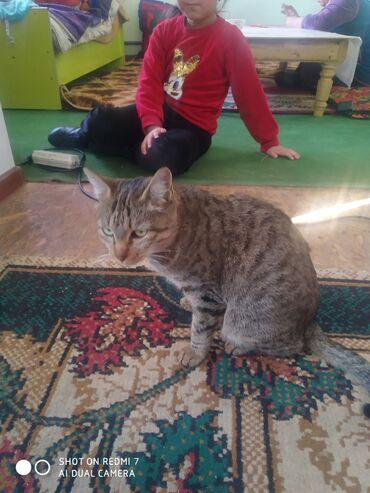ищу кошку в Кыргызстан: Продаю домашний кошку