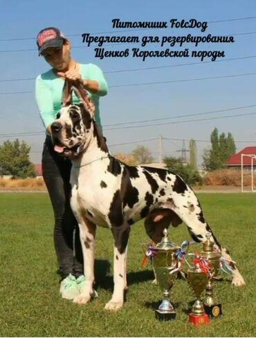 """Питомник собак """"Folc Dog"""" предлагает щенков породы немецкий дог. Дата"""