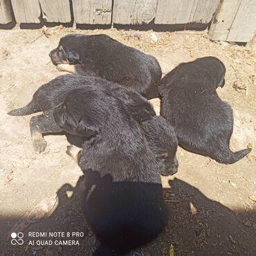 Животные - Михайловка: Продаю щенков овчарки месячные самостоятельно кушают