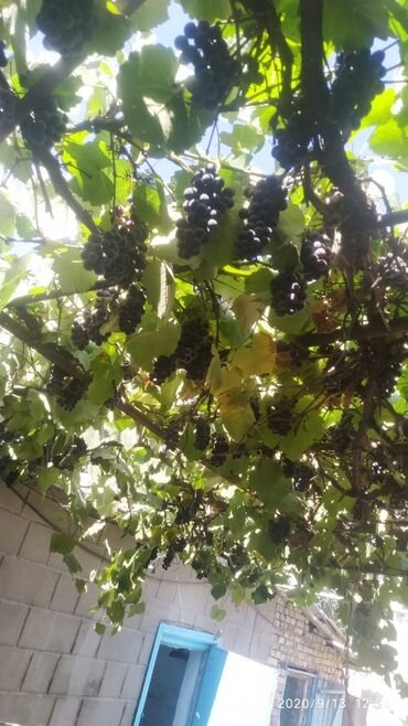 Семена и уличные растения - Сокулук: Продаю виноград сорт Изабелла винный виноград 40 сом кг