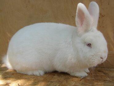 Декоративные кролики - Кыргызстан: НЗБ новозеландский белый кролик. Прост в ухаживании, подам крольчат, в