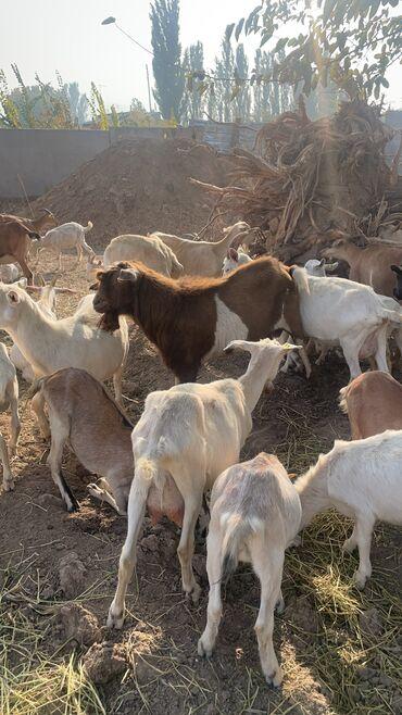 Продаю | Коза (самка), Козёл (самец), Козлёнок | Зааненская, Нубийская | Для разведения, Для молока | Племенные, Котные, Осеменитель