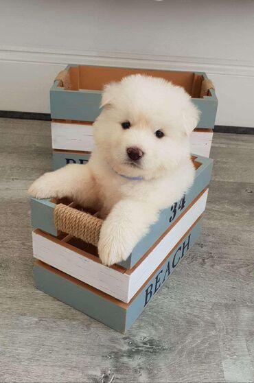 Πώληση κουτάβια AkitaΚουτάβια Akita διαθέσιμα για οποιοδήποτε