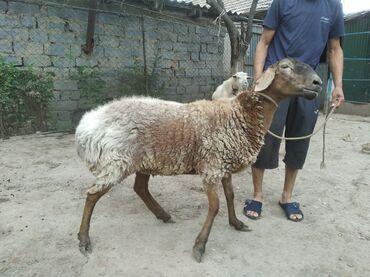 С/х животные в Кыргызстан: Продаются бараны 2 годовалые Жирные на мясо