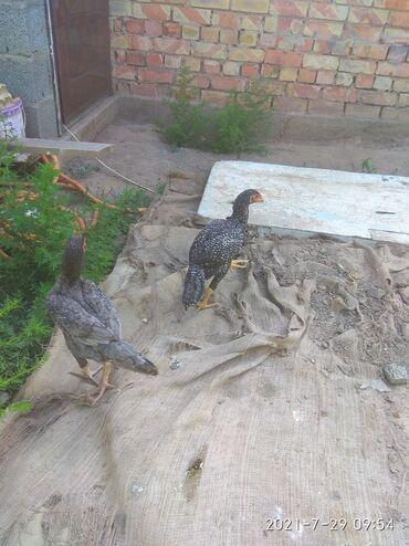 Животные - Кок-Джар: Цыплята даканы разных возрастов,разного цвета