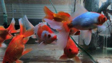 Золотые рыбки в Лебединовка